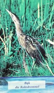 2018-08-29 Bąk- mieszkaniec lubuskich terenów zielonych